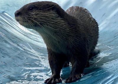 Otter on Slide