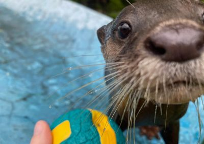 Otter with ball